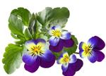 春天适合养这8种花儿