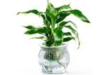 9步轻松把土培植物变水培